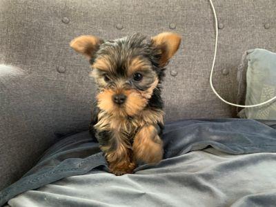 Yorkshire Terrier PUPPY FOR SALE ADN-114365 - Yorkie Puppies 1F