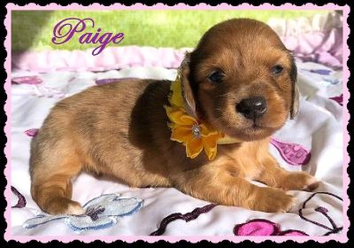 Dachshund Puppies Miniatures - AKC