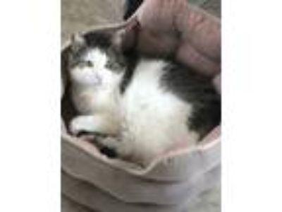 Adopt SAVANNAH a White (Mostly) American Shorthair / Mixed cat in Warrington