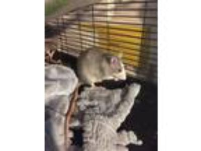 Adopt San Antonio girls a Rat small animal in Oklahoma City, OK (23458451)