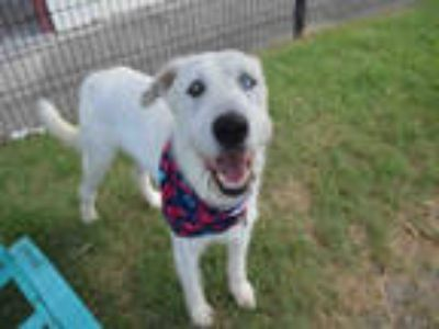 Adopt a White Irish Wolfhound / Mixed dog in Texas City, TX (25847106)