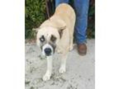 Adopt Sanford(tagged for rescue) a Tan/Yellow/Fawn Akita / Mixed dog in