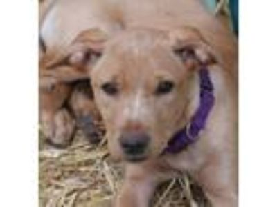 Adopt Shelly a Tan/Yellow/Fawn Labrador Retriever / German Shepherd Dog / Mixed