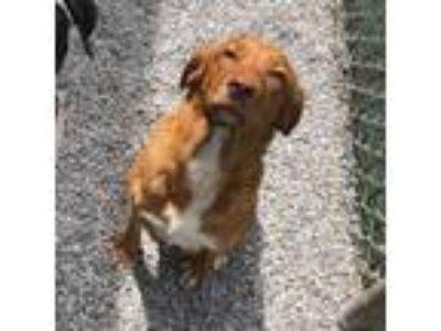 Adopt Sandy a Golden Retriever