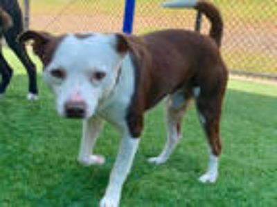 Adopt KONG a White - with Brown or Chocolate Jack Russell Terrier / Mixed dog in