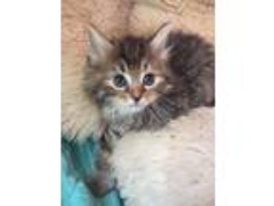 Adopt Lexi a Maine Coon, Domestic Short Hair