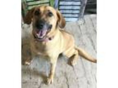 Adopt BONNIE a Black Mouth Cur, Shepherd
