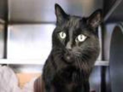 Adopt Myles a All Black Domestic Longhair / Domestic Shorthair / Mixed cat in