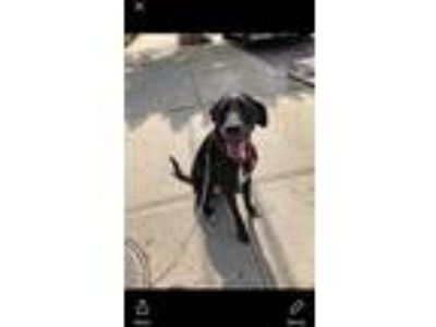 Adopt Sam a Black - with White Labrador Retriever dog in Ridgewood