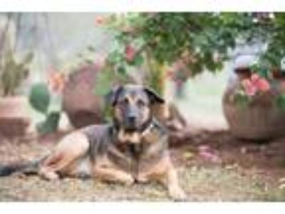 Adopt Bruno W a Black - with Tan, Yellow or Fawn Shepherd (Unknown Type) / Mixed
