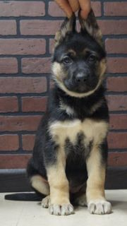 German Shepherd Dog PUPPY FOR SALE ADN-104825 - Beautiful German Shepherd puppies Almost Ready