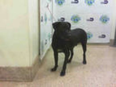 Adopt KIKO a Black - with White Labrador Retriever / Mixed dog in Doral