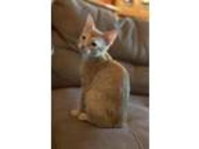 Adopt Patrick a Orange or Red Tabby Domestic Shorthair cat in Dallas