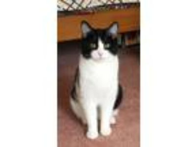 Adopt Arwen a Domestic Short Hair