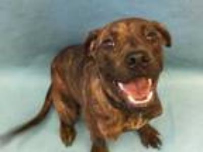 Adopt Abbie a Brindle Plott Hound / Boxer / Mixed dog in Golden Valley