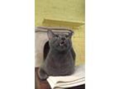 Adopt Ralph a Gray or Blue Russian Blue (short coat) cat in New York
