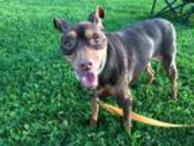 Adopt Rylee a Brown/Chocolate - with Tan Miniature Pinscher / Mixed dog in Los