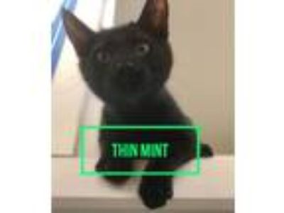 Adopt Thin Mint a Domestic Short Hair