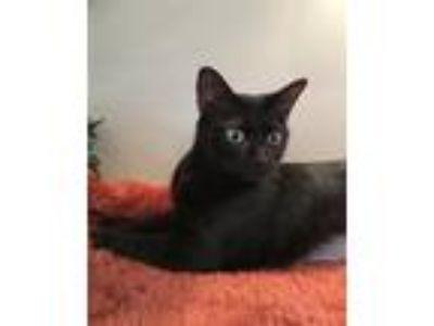 Adopt Mya a Black (Mostly) Domestic Shorthair / Mixed (short coat) cat in