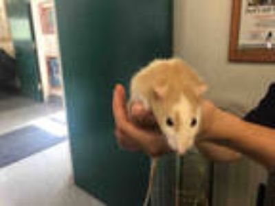 Adopt CHEECH a Tan or Beige Rat / Mixed small animal in Goleta, CA (25899090)