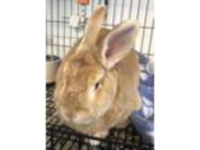 Adopt Apricot spayed female 7years a Bunny Rabbit