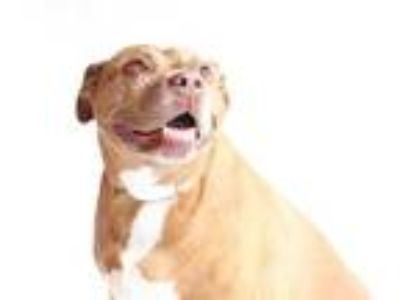 Adopt *ROSE a Red/Golden/Orange/Chestnut American Pit Bull Terrier / Mixed dog