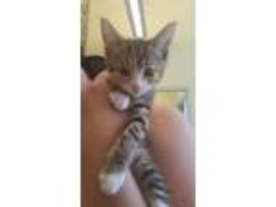 Adopt Dolly Purrton a White Domestic Shorthair / Domestic Shorthair / Mixed cat