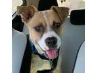Adopt Stella a Tan/Yellow/Fawn Pit Bull Terrier / Mixed Breed (Medium) dog in