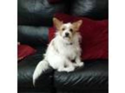 Adopt bubbles the sweet boy a Red/Golden/Orange/Chestnut - with Black Corgi /