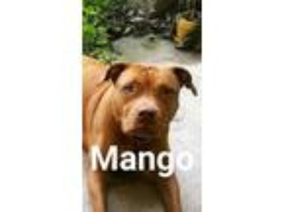 Adopt Mango a Red/Golden/Orange/Chestnut American Pit Bull Terrier / Mixed dog