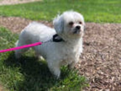 Craigslist - Dogs for Adoption Classifieds in Mahomet