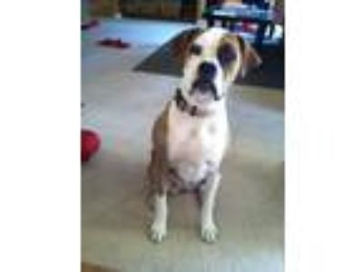 Adopt Lucy a Brindle Boxer / Dalmatian / Mixed dog in Angwin, CA (23561939)