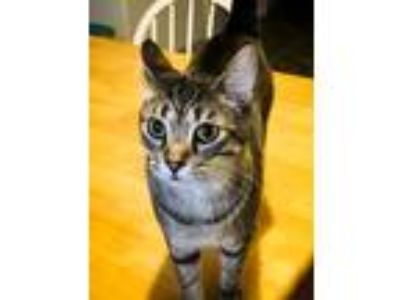 Adopt Anya a Brown Tabby Domestic Shorthair / Mixed (short coat) cat in St.