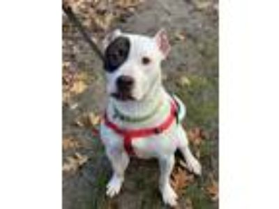 Adopt SHANE a Terrier, American Staffordshire Terrier