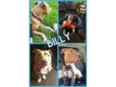 Adopt Billy Boy a Pit Bull Terrier