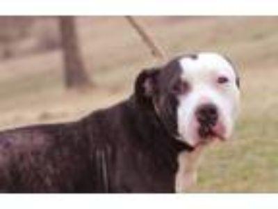 Adopt Eeyore a American Staffordshire Terrier
