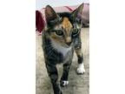 Adopt Cicada a Domestic Shorthair / Mixed (short coat) cat in Clinton