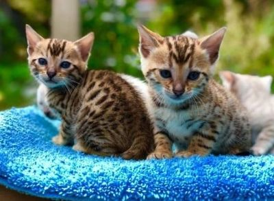 amazing Bengal Kittens Currently Available