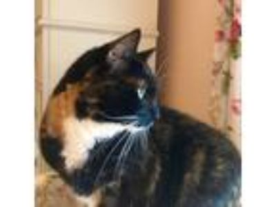 Adopt *Athena a Calico or Dilute Calico American Shorthair cat in Newton Centre