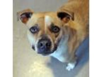 Adopt Dixie a Boxer, Pit Bull Terrier
