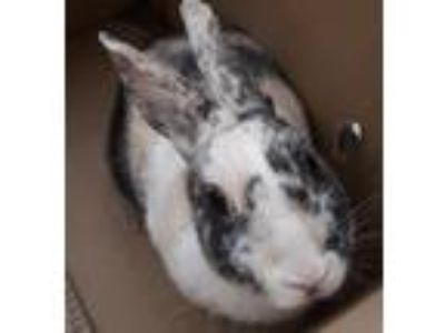 Adopt Moira a Other/Unknown / Mixed rabbit in Westminster, CA (25280192)
