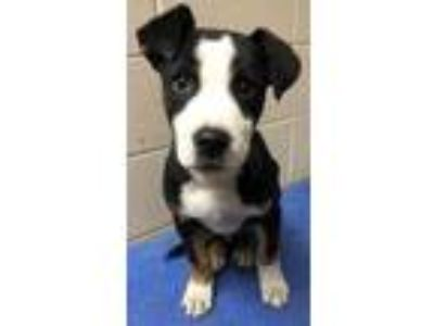 Adopt Billy Bob a Black American Pit Bull Terrier / Mixed dog in New Albany