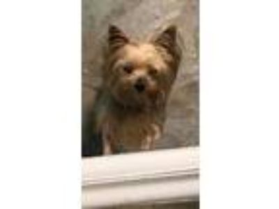 Adopt Bookie a Yorkshire Terrier