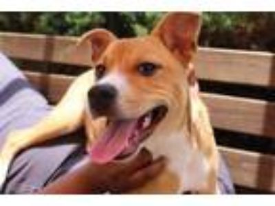 Adopt Juno* a Tan/Yellow/Fawn Shepherd (Unknown Type) / Mixed dog in Anderson