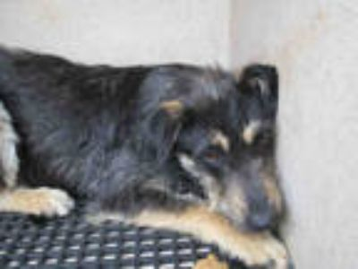 Adopt ZHYLO a Black - with White Terrier (Unknown Type, Medium) / Mixed dog in
