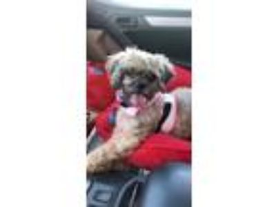 Adopt Stanley a Shih Tzu, Mixed Breed