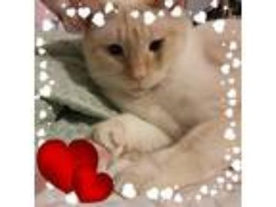 Adopt George a White (Mostly) Siamese / Mixed (short coat) cat in Whitewater