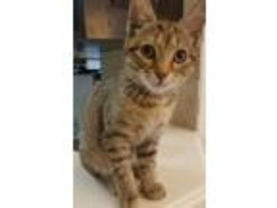 Adopt Liv a Domestic Short Hair, Tabby