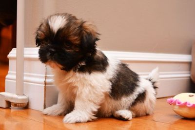 #@cute Male Shih Tzu Puppies Need Good Loving Home only@#@#@