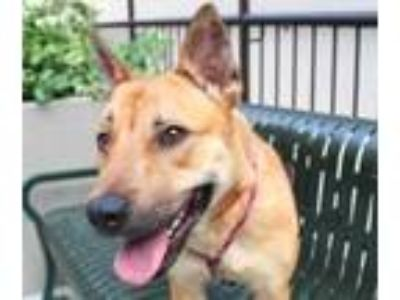 Adopt Coco a Red/Golden/Orange/Chestnut Mixed Breed (Large) / Mixed dog in